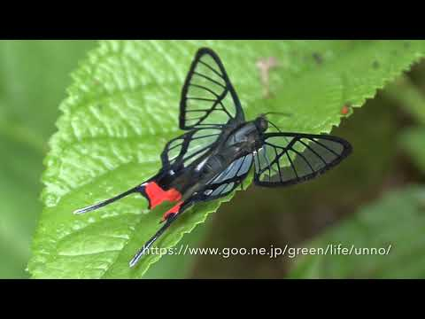 スカシツバメシジミタテハ Chorinea octauius