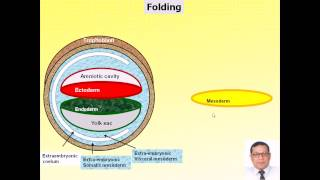 preview picture of video 'Magdy Said Anatomy Series,General Embryology,13- folding,avi. v1.'