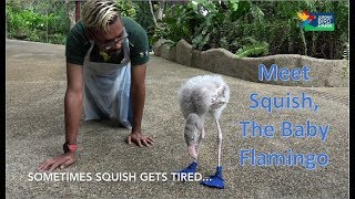 Squish, the baby flamingo wears blue boots to keep his feet safe