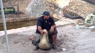 Alligator wrestling show at Gator Boys Alligator Rescue