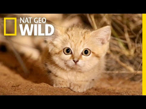 For the First Time Ever, Sand Kittens Captured in the Wild