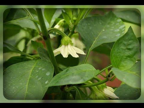 Перец не растет, застыл в росте, осыпается цвет и завязи. Что делать ???