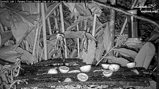 Panama Fruit Feeder Cam at Canopy Lodge powered by EXPLORE.org