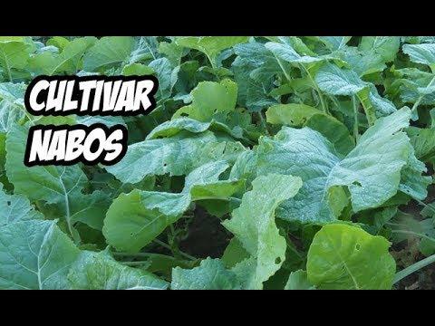 Como Cultivar Nabos en el Huerto | Muy Facil