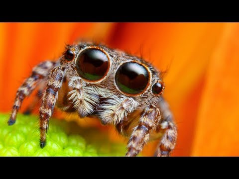 Lucas the spider - Jumping Spider Photoshop Makeover! Very Cute :)