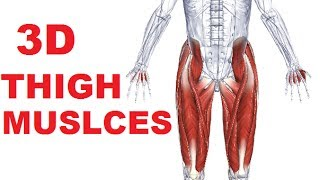 Muscles of the Thigh Part 1 - Anterior Compartment Anatomy