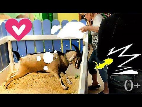 , title : 'Коза и ее приколы в контактном зоопарке! Смешные животные. Свинка, дикообраз. Видео для детей 0+'