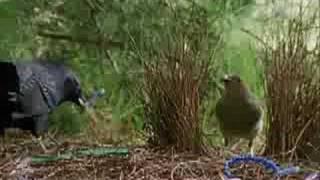 Satin Bowerbird - Mating Ritual
