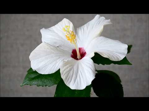 Комнатный гибискус с белым цветком. Гибискус белый сорт Cairo White