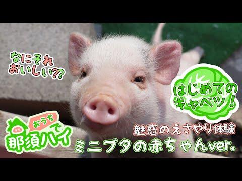 【おウチで那須ハイ!】えさやり体験(ミニブタの赤ちゃんver.)
