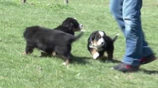 Joe Miller's Bernese Mountain Dog Pups