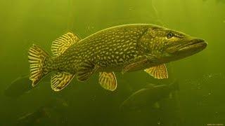 Клев рыбы в сузуне на выходные