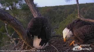 2018 - NEFL Bald Eagle Nest 12/18/18 Conflict (Cam1)
