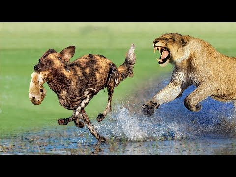 Mistake when Wild Dogs attack baby Lion - Tiger vs Buffalo