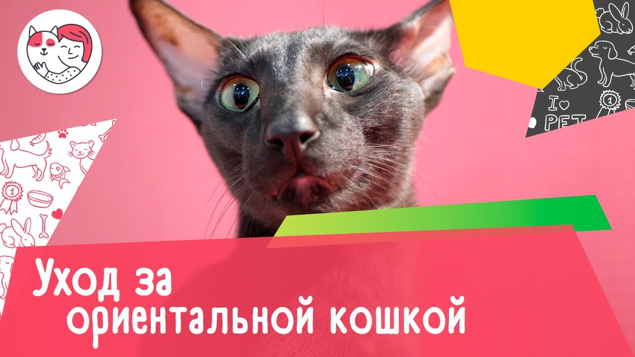 6 особенностей ухода за ориентальной кошкой