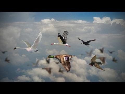 Перелетные птицы.  Детям про птиц.