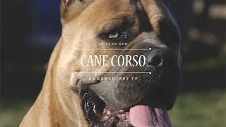 THE VOICE OF GOD: CANE CORSO