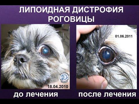 Липоидная дистрофия роговицы у ши-тцу. ДО и ПОСЛЕ лечения.