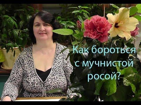 Как бороться с мучнистой росой на растениях? - видео Ольги Пряниковой