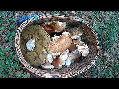 По Білі гриби в Дубовий ліс 2018 По Белые грибы в Дубовый лес 2018
