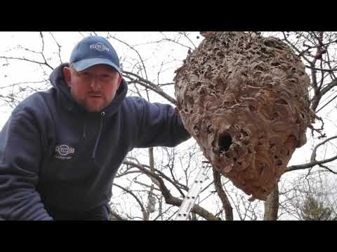 One Large Bald Faced Hornet Nest Removal in Montgomery, NJ