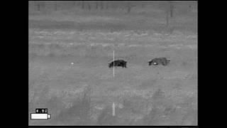 Jack County 5 Thermal Hog Hunt