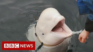 Is this whale a Russian spy? - BBC News