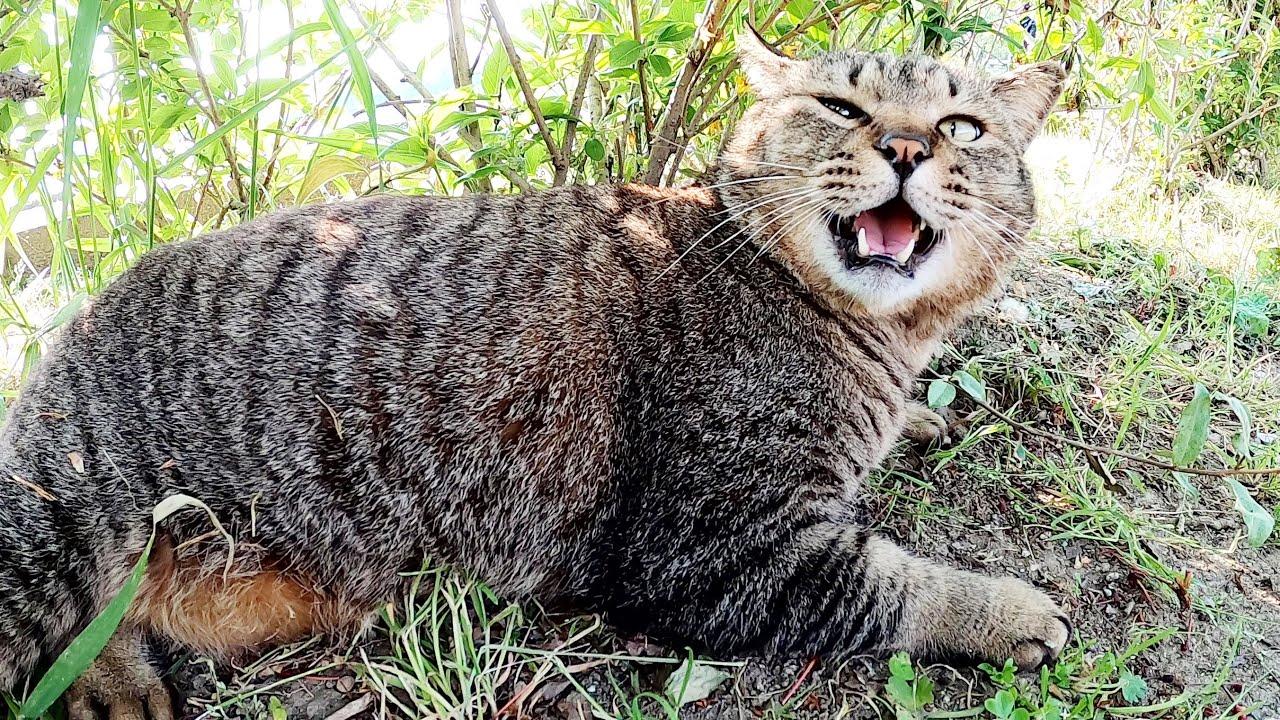 ぽっちゃり猫のお腹を触ったら、ドスのきいた声で抗議された