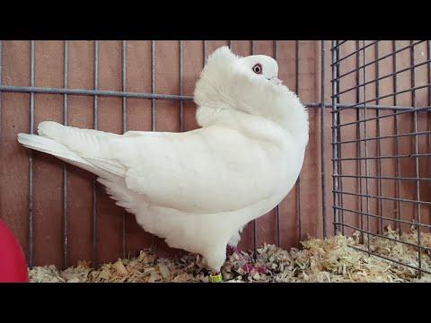 , title : 'Altholländische Kapuziner Tauben ♡, Weiß ♡, Old Dutch Capuchine pigeons ♡, white ♡,