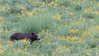 Wildlife Photography-Grizzly 610 /cubs Morning Stroll-Jackson Hole/Grand Teton Park/Yellowstone Park