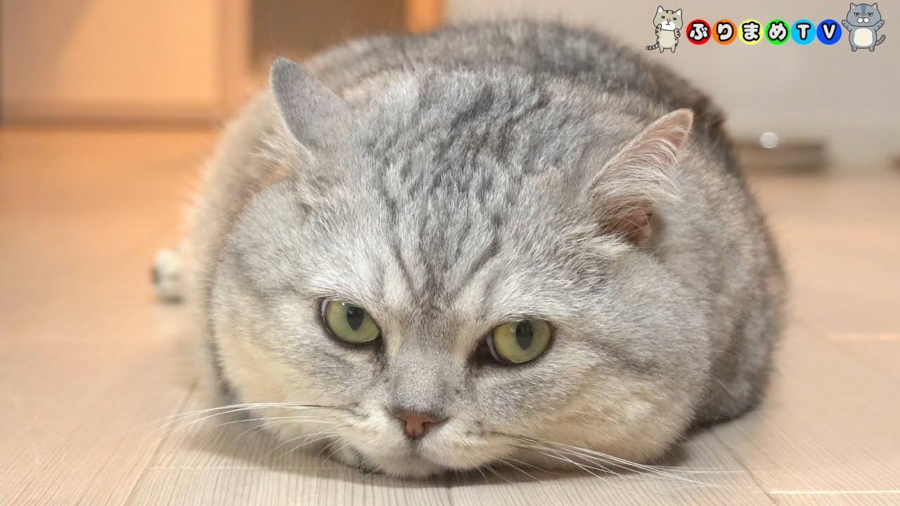 【テロップ無】マンチカンでも見て日々の疲れを癒してください【ぶりまめTV#149】