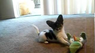 AKC  Papillon , A delightful puppy,  free shipping