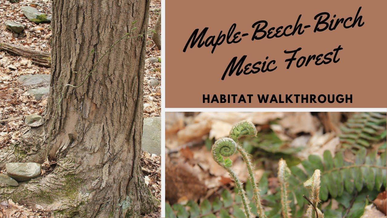 Habitats: Maple-Beech-Birch Mesic Forest