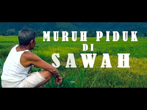 MURUH PIDUK DI SAWAH | CINEMATIC VIDEO | KLUET STUDIO Mp3