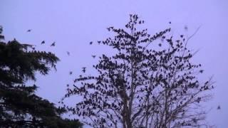 preview picture of video 'Des milliers d'étourneaux à Quimper : L'étourdissement'