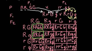 How To Solve Dihybrid Cross Problems - Step By Step Explanation