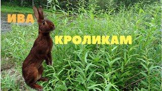 Ива - значение веточного корма в кормлении кроликов летом / Заготовка веников на зиму
