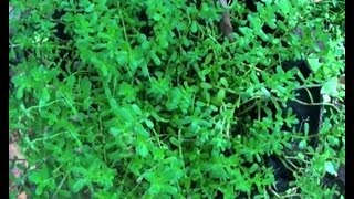 Brahmi oil - best for hair growth in children