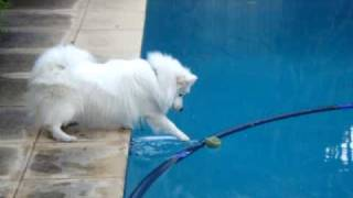 Japanese Spitz tries to get tennis ball out of swimming pool