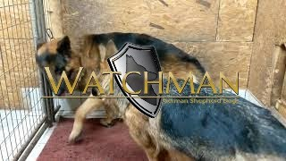 How to German Shepherds mating video (Victor/Atina)