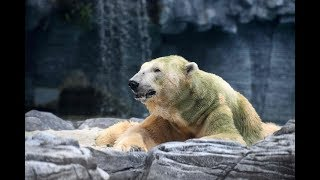 World mourns death of first tropical polar bear