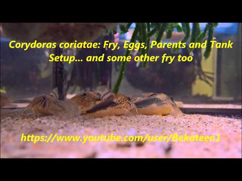 Corydoras coriatae: fry, eggs, parents & tank setup