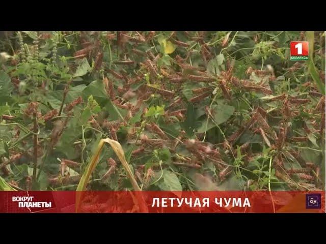 Кения борется с нашествием пустынной саранчи при помощи приложения
