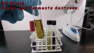 Using SF Broth and Bile Esculin Agar to Identify Enterococcus