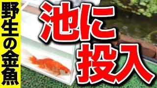 庭の池野生の金魚を池に投入トリートメント済#1362018.9.2