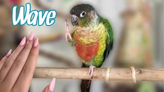 How to Teach Your Bird to Wave! | Easy Parrot Trick Training