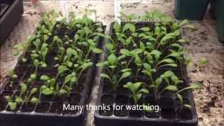 Dahlia bedding plants from seed. Information and Help.