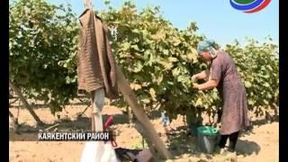 В Дагестане в разгаре сбор солнечной ягоды