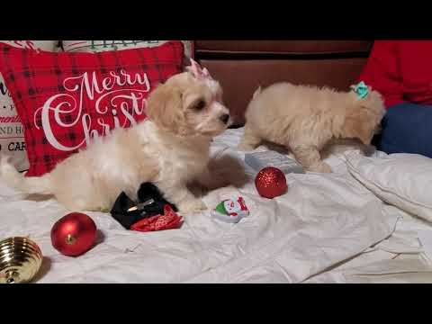 Morgana - Cockabichon puppy for sale