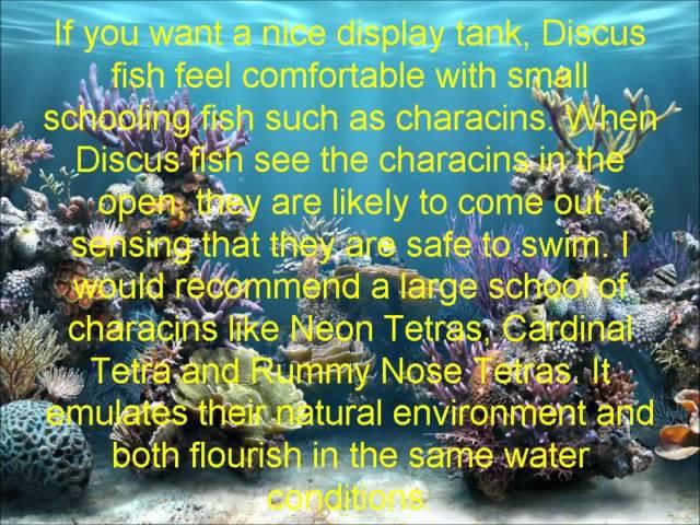 Discus Fish Tank Mates